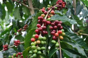 Ağaçta Yetişen Kahveler